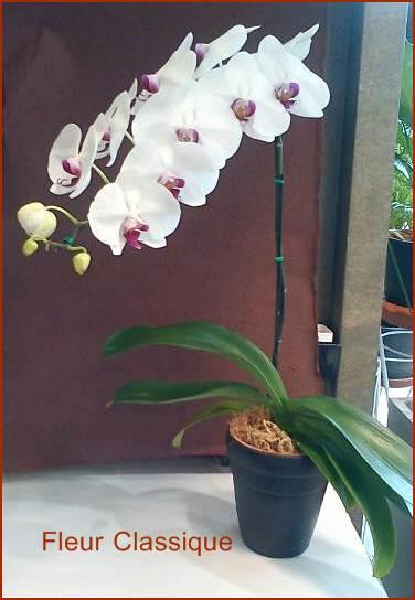ต้นกล้วยไม้ฟาแลนอปซิสสีขาวปากแดง(phalandopsis) 1