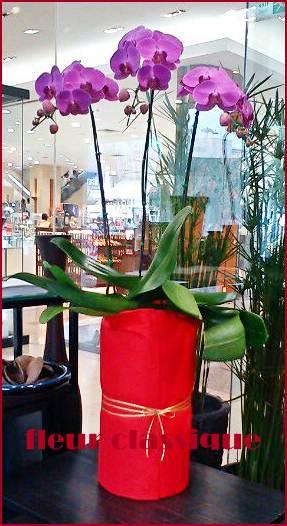 ต้นกล้วยไม้ฟาแลนอปซิสสีชมพู 3 ต้น (phalandopsis)