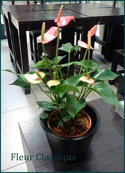 ต้นหน้าวัวแคระ (Flamingo flower)