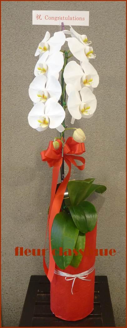 ฟาแลนด์ phalandopsis