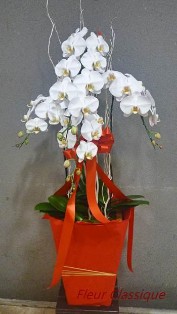 ฟาแลนนอปซิส  ออร์คิด (phalaenopsis orchids)