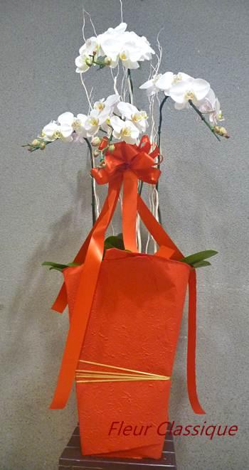 ฟาแลนนอปซิส  ออร์คิด (phalaenopsis orchids) 1