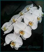 ฟาแลนนอปซิส  ออร์คิด (phalaenopsis orchids) 2