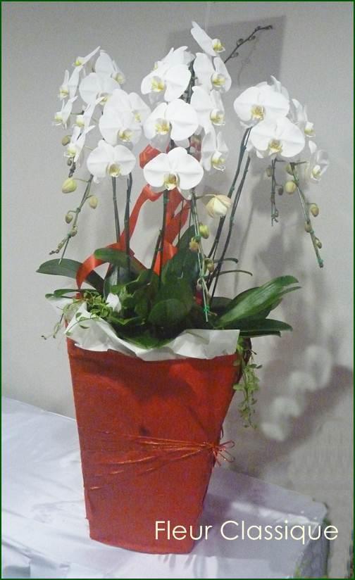 ��������������������������������������������������������������������������� (phalandopsis)