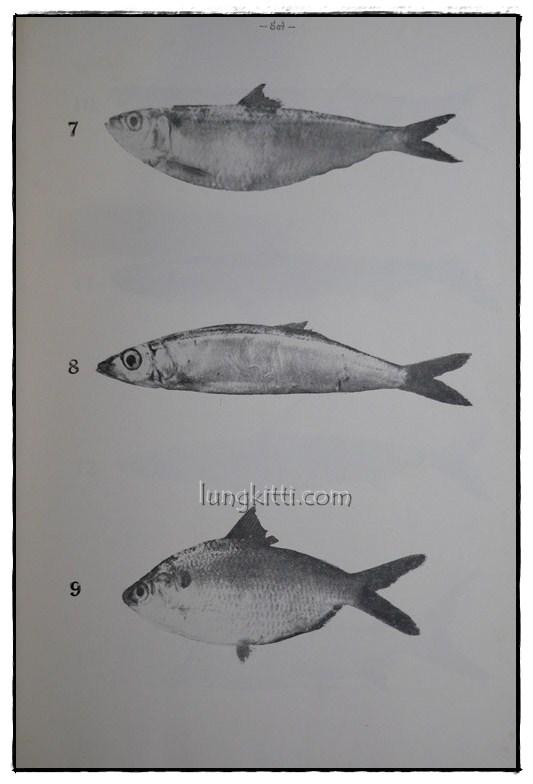 รายงานผลการศึกษาชนิดของปลาและสัตว์น้ำอื่นๆของประเทศไทยทางชายฝั่งมหาสมุทรอินเดีย ฉบับที่ 1 7