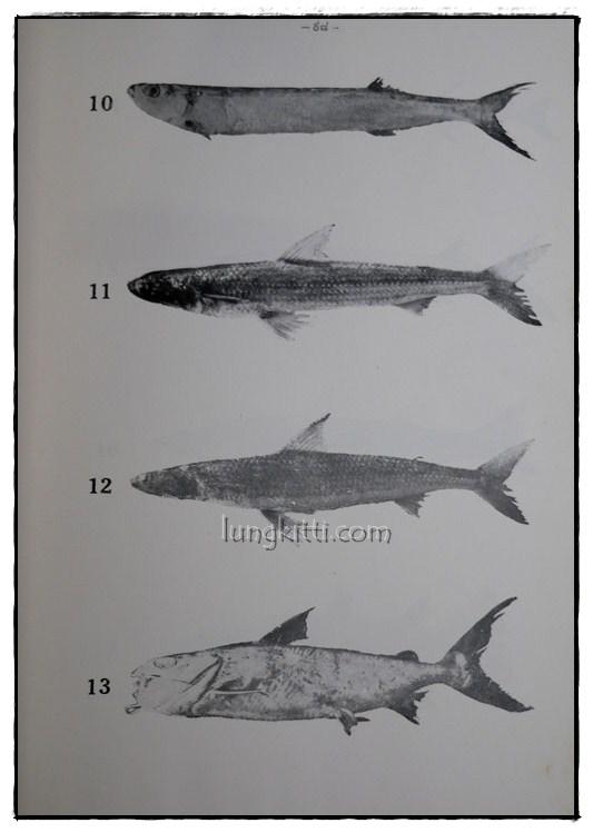 รายงานผลการศึกษาชนิดของปลาและสัตว์น้ำอื่นๆของประเทศไทยทางชายฝั่งมหาสมุทรอินเดีย ฉบับที่ 1 8