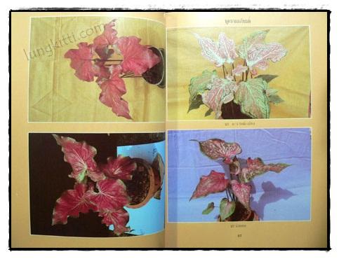 เอกลักษณ์บอนสี เล่ม 2 / คณะ 9 รังบอน 7
