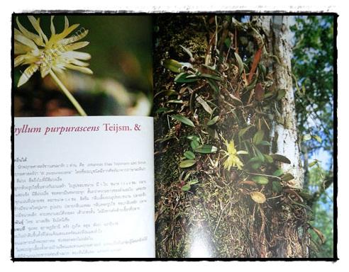 กล้วยไม้ป่าเมืองไทย (เล่ม 2) 7