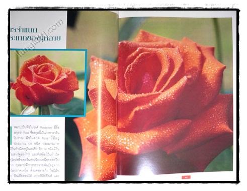 กุหลาบ : ราชินีดอกไม้ 4