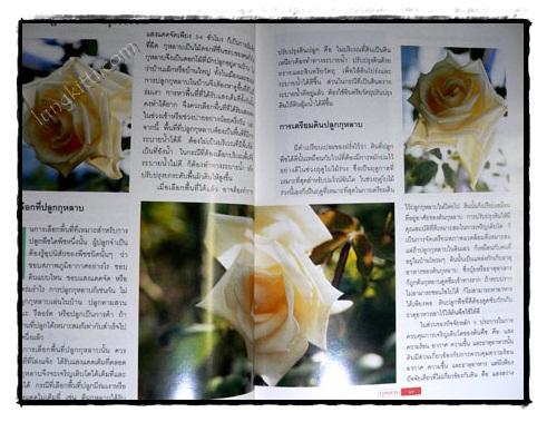 กุหลาบ : ราชินีดอกไม้ 5