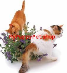 Organic CATMINT เมล็ดแคทมิ้นท์ แบบปลูกเอง กลิ่นหอมสดชื่น ดอกสวยงาม แมวชอบ จาก USA (ซื้อ 1 แถม 1)