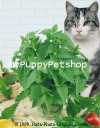 ORGANIC CATNIP Seeds เมล็ดแคทนิป แบบปลูกเอง สมุนไพรแมวที่แมวชอบ ปลูกง่าย USA (ซื้อ 1 แถม 1)