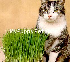 CATGRASS ORGANIC เมล็ดหญ้าแมว พันธุ์ดีที่สุด ปลูกให้แมวกินเสริมสุขภาพ ปลอดสาร (1 แถม 1 ซอง)