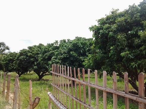 จ.ลำพูน อ.เมือง ฉ.8-3-40ไร่ มีลำไย200ต้น ให้ผลผลิตแล้ว