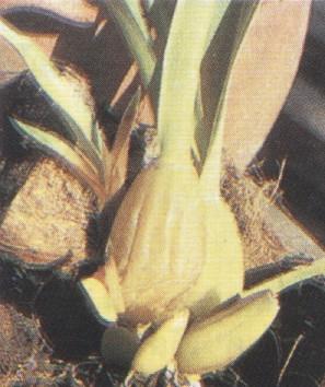 โรคเน่าเละกล้วยไม้
