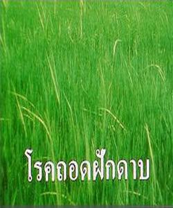 โรคถอดฝักดาบ (Bakanae)