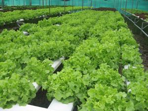 อาการขาดธาตุอาหารของผักไร้ดิน