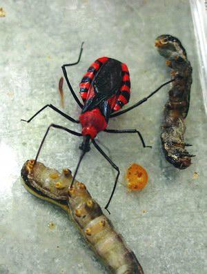 พืชที่มีพิษกำจัดแมลงศัตรู