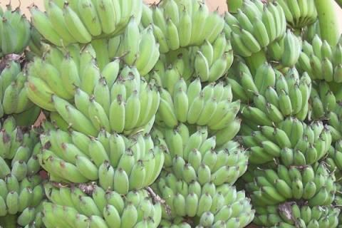 ปลูกอย่างไร... มีกล้วยน้ำว้าขายตลอดปี