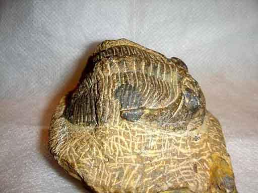 Trilobite สายพันธ์ Encrinurus (ตัวอ้วน) 3