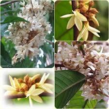 หัวน้ำหอมดอกจันกระพ้อ Chankrapor - PC0002