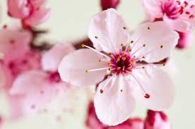 หัวน้ำหอมกลิ่นเชอรี่ บอสซั่ม Cherry Blossom -PC0003