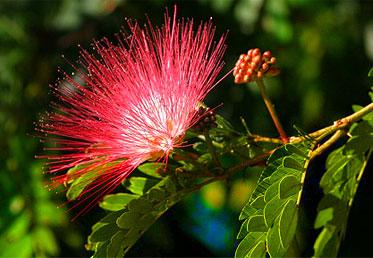 หัวน้ำหอมดอกจามจุรี Jamjuree -PC0006