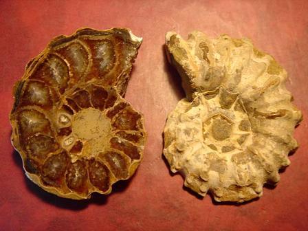 ฟอสซิลหอยทะเลแอมโมไนต์ (Ammonite)