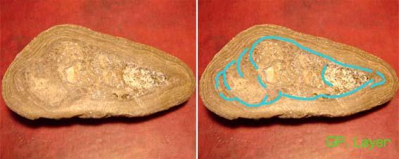 ฟอสซิลหอยทาก (Snail fossil) 1