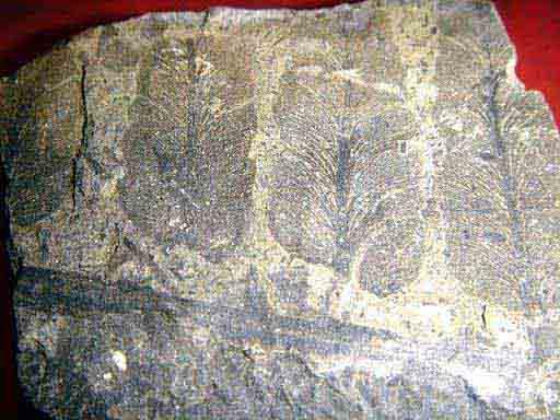Fossil ใบไม้ในหิน  Plants 1