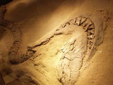 ฟอสซิลฟันปลาฉลามสายพันธ์โอทูดัสขนาดเล็ก (Small Fossil Shark\'s Tooth / Otodus) 4