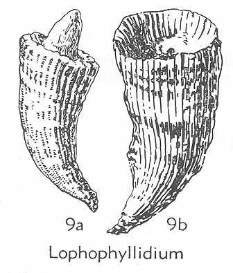 ฟอสซิลพืชปะการัง (Phylum Cnideria) 4