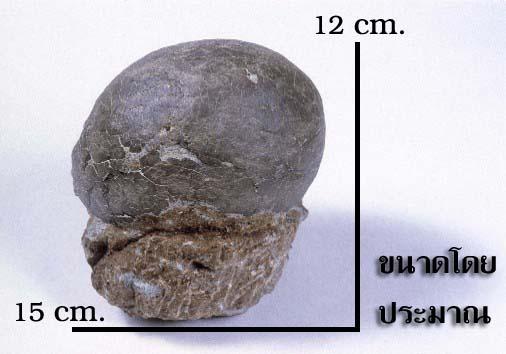 ไขไดโนเสาร์ (Sauropod Dinosaur Egg) สัตว์กินพืช 1