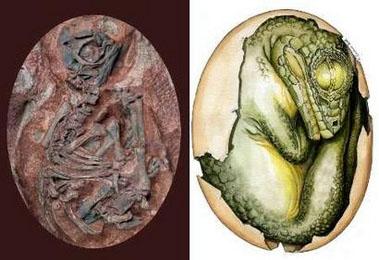 ไขไดโนเสาร์ (Sauropod Dinosaur Egg) สัตว์กินพืช 5