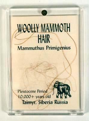 เส้นขนช้างแมมมอธโบราณ (woolly mammoth hair)