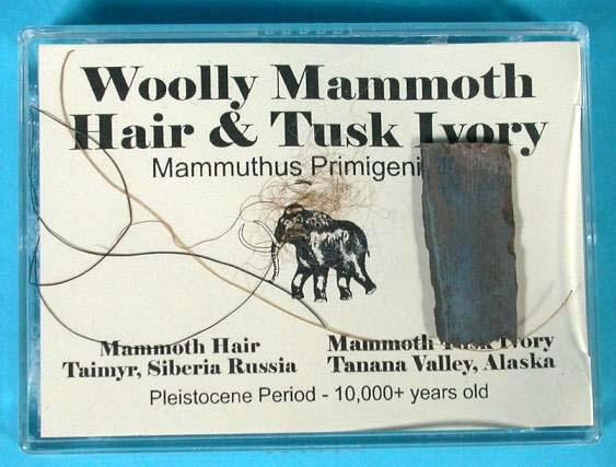 เส้นขนและชิ้นงาช้างแมมมอธโบราณ (Woolly Mammoth Hair  Tusk Ivory)