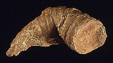 ฟอสซิลพืชปะการัง (Heliophyllum) - จำหน่อยแล้ว!