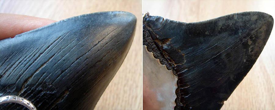 ฟอสซิลฟันปลาฉลามขนาดใหญ่สายพันธ์เมก้าโรดอน (Big Fossil Shark Tooth/Megalodon) 6