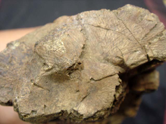 ชิ้นส่วนฟอสซิลงาช้าง (Mammoth Tusk) 4