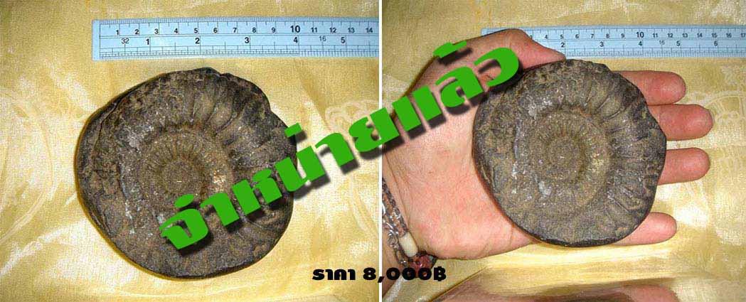 ฟอสซิลหอยทะเลแอมโมไนต์ (Ammonite)บนพื้นที่สูงของเทือกเขาหิมาลัย 1