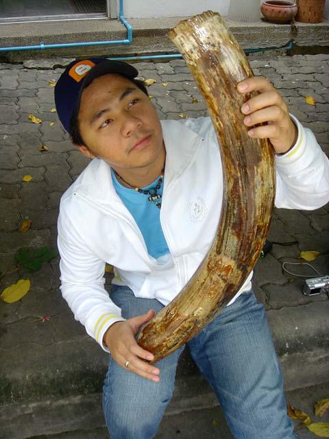 งาช้างแมมมอธสมบูรณ์ (Mammoth Tusk Perfect) - Out of Stock 1
