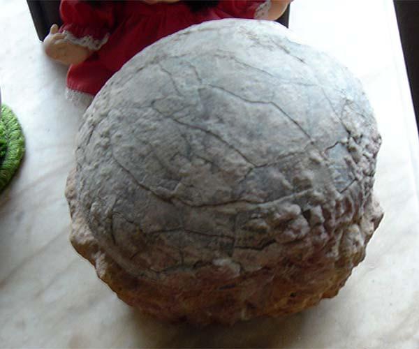 ไขไดโนเสาร์ (Sauropod Dinosaur Egg) สัตว์กินพืช 2