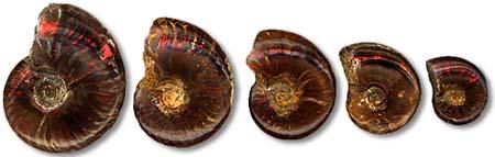 Ammonite with Ammolite (5 Give Set)