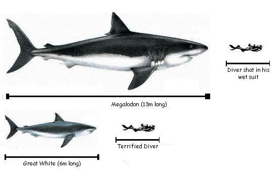 ฟอสซิลฟันปลาฉลามขนาดใหญ่สายพันธ์ \'เมก้าโรดอน\' (ขนาด 3 นิ้วเศษ) 3