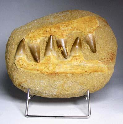 ฟอสซิลกรามฟันไดโนเสาร์ขนาดใหญ่ (Fossil Mosasaur Jaw  Teeth In Matrix) 1