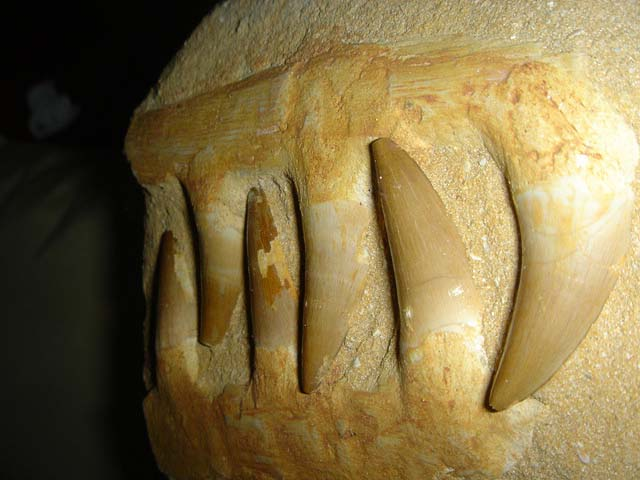 ฟอสซิลกรามฟันไดโนเสาร์ขนาดใหญ่ (Fossil Mosasaur Jaw  Teeth In Matrix) 3