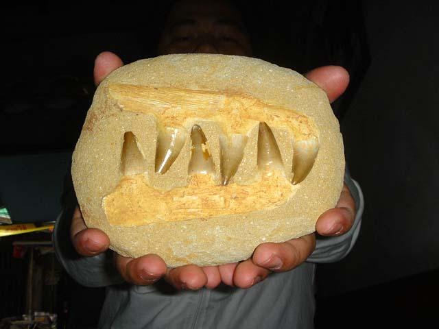 ฟอสซิลกรามฟันไดโนเสาร์ขนาดใหญ่ (Fossil Mosasaur Jaw  Teeth In Matrix) 4