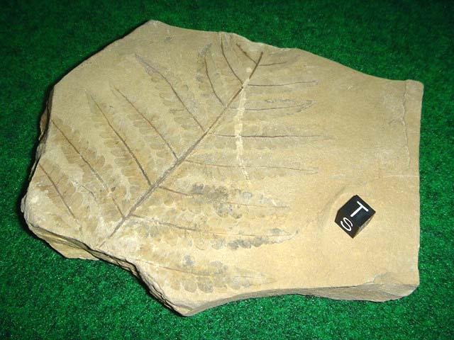 ฟอสซิลใบไม้ในแผ่นหิน