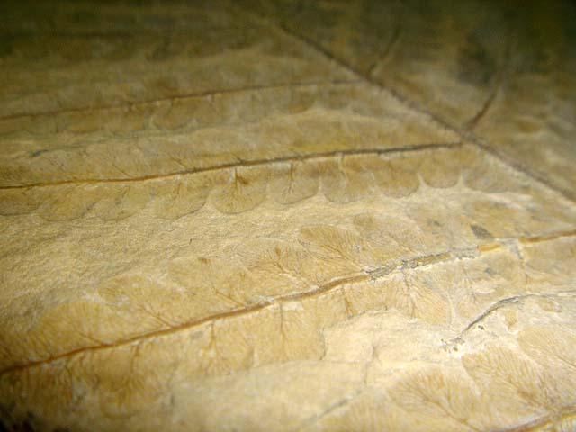 ฟอสซิลใบไม้ในแผ่นหิน 2