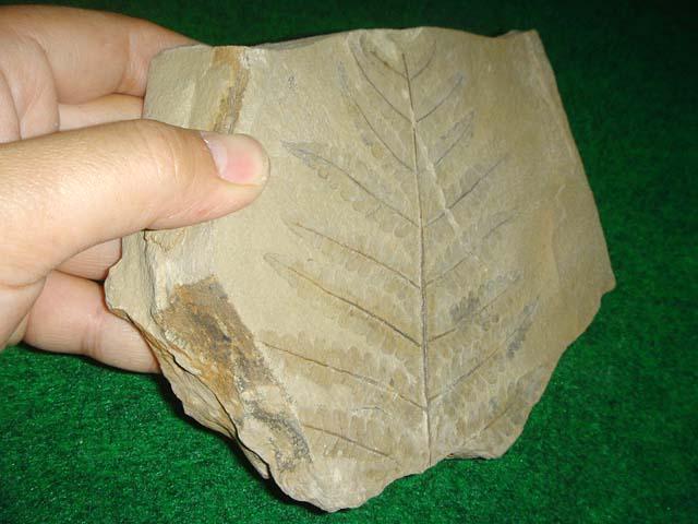 ฟอสซิลใบไม้ในแผ่นหิน 4